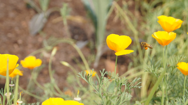 A bee with loaded pollen baskets looks to land on a California poppy in the Herb Garden. Photo by Alexandra Muller.