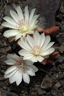 Three Lewisias