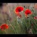 159/365 I found more Poppies by Maarten Takens