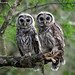 Barred Owl Pair at Myakka River State Park (Explore)