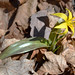 Beaked trout-lily - Photo (c) amy_buthod, some rights reserved (CC BY-NC-SA)