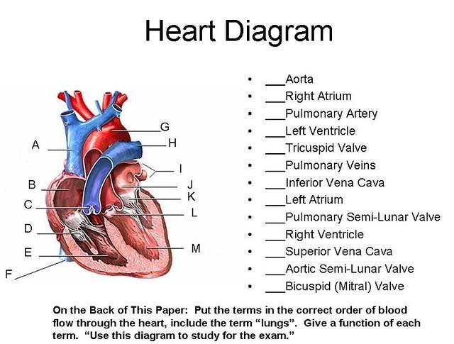 Heart Diagram | Flickr - Photo Sharing!