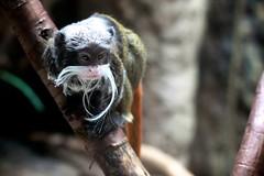 animal, monkey, mammal, fauna, close-up, new world monkey, wildlife,
