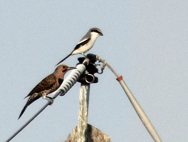 Distant shrike and flicker 20110410