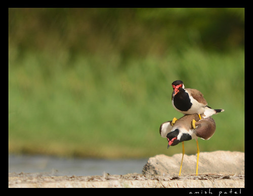 red waltted lapwing matting