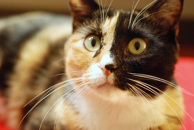 Japanese Bobtail Cat Pictures and Information - Cat-Breeds.com