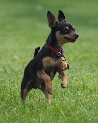german pinscher(0.0), dog breed(1.0), animal(1.0), dog(1.0), manchester terrier(1.0), dobermann(1.0), pet(1.0), russkiy toy(1.0), miniature pinscher(1.0), pinscher(1.0), toy manchester terrier(1.0), toy fox terrier(1.0), english toy terrier(1.0), carnivoran(1.0), terrier(1.0),