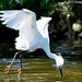 Snowy Egret Gathers Nest Twigs On The Fly