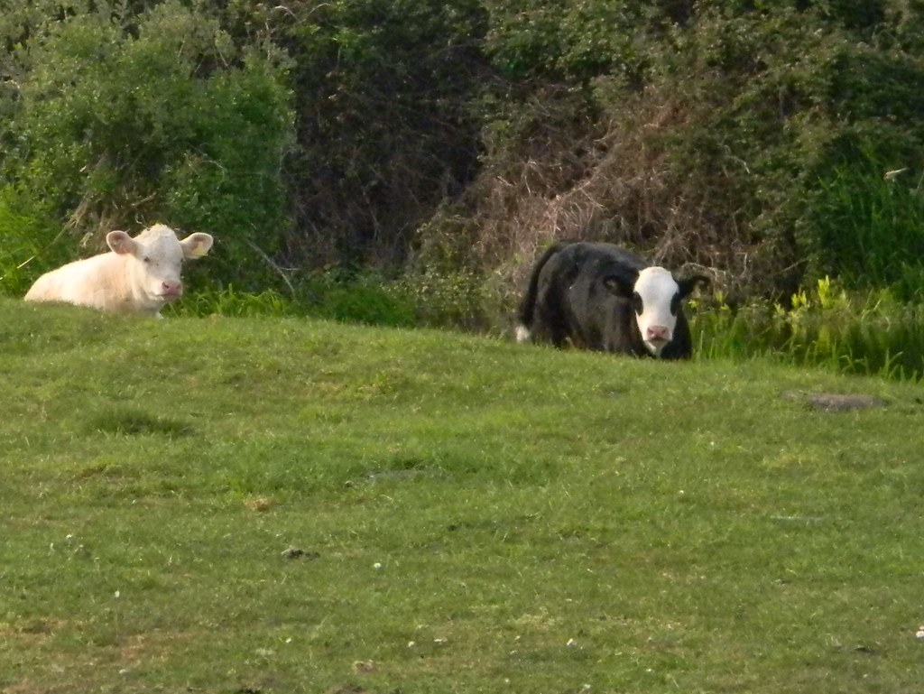 Cow that looks like a panda Huntingdon Circular