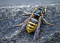 arthropod, animal, wasp, yellow, nature, invertebrate, macro photography, membrane-winged insect, fauna, close-up, hornet, pest, wildlife,