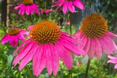 annual plant, flower, macro photography, wildflower, flora, purple coneflower, petal,