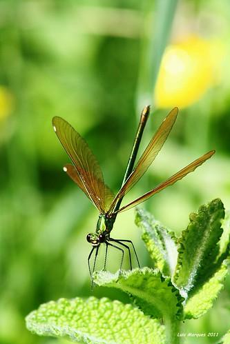 Libelinha - Donzelinha-Verde Calopteryx virgo