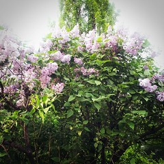 more lilac ☆