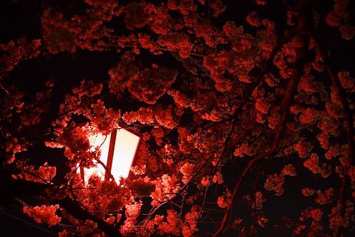 night explore cherryblossoms lantern f28 fullbloom canon50d 30mmf14sigma