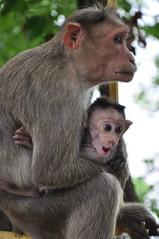 Baby monkey yawning