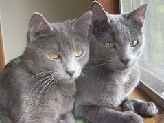 european shorthair(0.0), pixie-bob(0.0), animal(1.0), british shorthair(1.0), small to medium-sized cats(1.0), pet(1.0), burmilla(1.0), fauna(1.0), chartreux(1.0), cat(1.0), korat(1.0), carnivoran(1.0), whiskers(1.0), nebelung(1.0), russian blue(1.0), domestic short-haired cat(1.0),