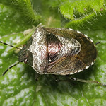 foltos feketefejű poloska - Eysarcoris venustissimus