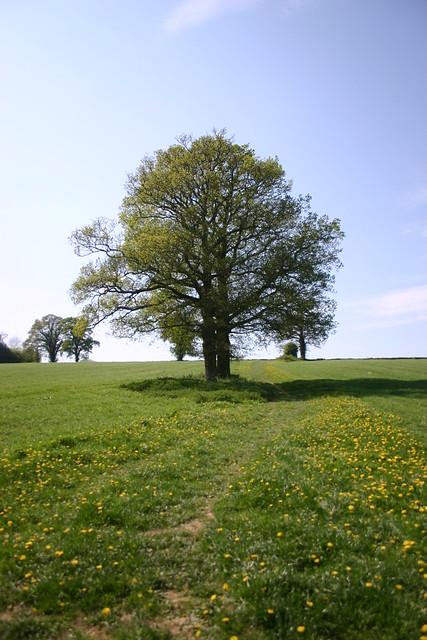 Oaks on a dandelion pathway