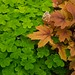 oxalis and heucherella  282