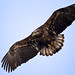 Juvenile Bald Eagle with it's wings spread