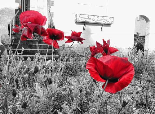 red poppy poppies selectivecolor coquelicots pavots oligochrome zedzap coth5