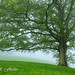 White Oak Tree in Fog by travelphotographer2003