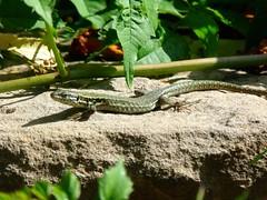 Eidechse // Lizard