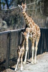 Giraffe Baby Standing with Mom