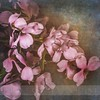Pink Dogwood by sheriberi1