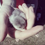 One of Valentin's little newborn baby chicks. Nawww ...