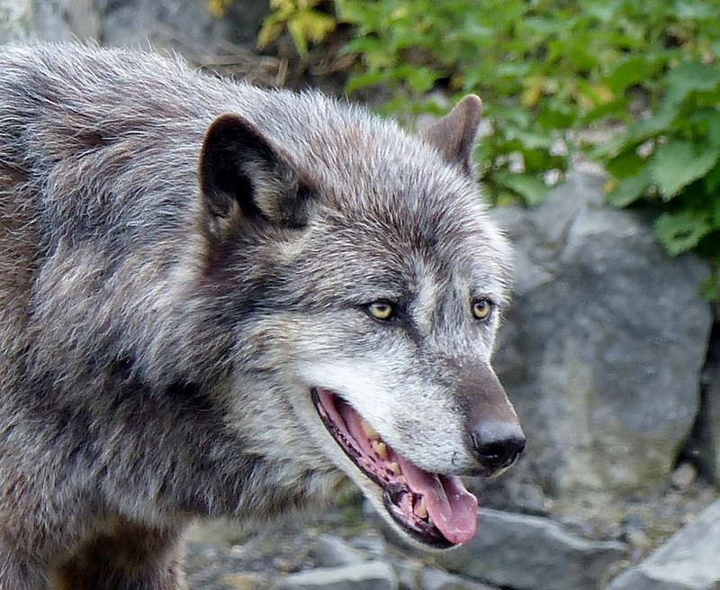 Timberwolf***Eastern timber wolf***Canis lupus lycaon