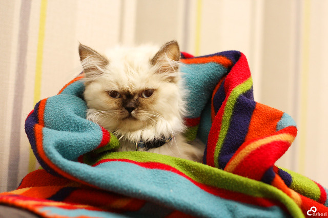 My Himalayan Cat