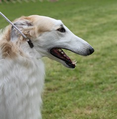 animal sports(0.0), hound(0.0), magyar agã¡r(0.0), whippet(0.0), sloughi(0.0), sports(0.0), lurcher(0.0), greyhound(0.0), afghan hound(0.0), dog sports(1.0), dog breed(1.0), animal(1.0), silken windhound(1.0), dog(1.0), polish greyhound(1.0), galgo espaã±ol(1.0), sighthound(1.0), saluki(1.0), pet(1.0), longhaired whippet(1.0), carnivoran(1.0), borzoi(1.0),