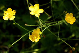 YellowAvens