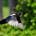 Magpie in flight by Chris Pippard