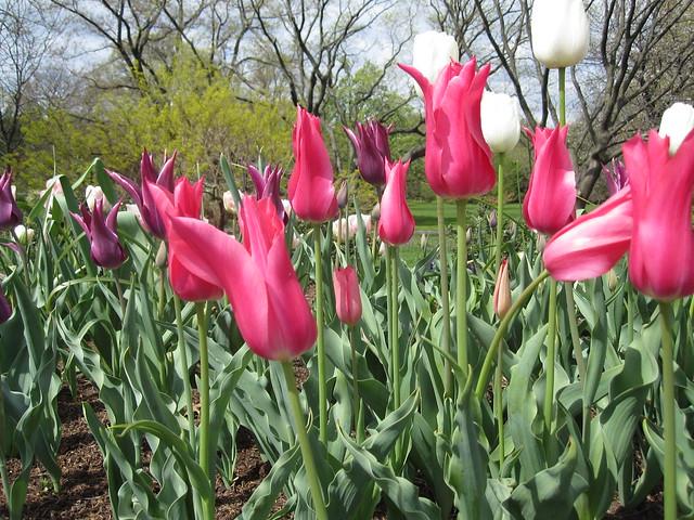 Bulbs bloom in Annual Border. Photo by Sarah Schmidt.