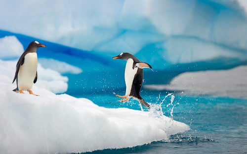 Sociable birds, Gentoo penguins (Pygoscelis papua) on floating iceberg, one jumping out of sea  to join other birds, Gerlache Passage,   Antarctic Peninsula, Southern Ocean, Antarctica by happychappy01
