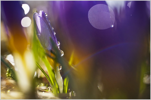 20120415. Crying crocuses. 6040. by Tiina Gill