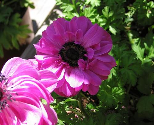 Purple Double Poppy Anemone. by Leenechan