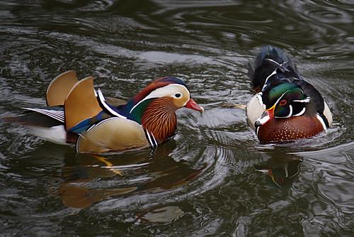 Mandarin and Wood Duck