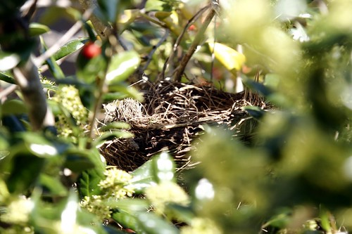Robins nest, baby birds, robin, robins, robin birds, robin baby birds, nest, worms, tree, hatching birds, eggs, hatching robins