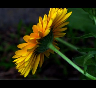 twosome Marigold