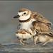 Wilson's Plover brooding chicks by Greg Schneider (gschneiderphoto.com)