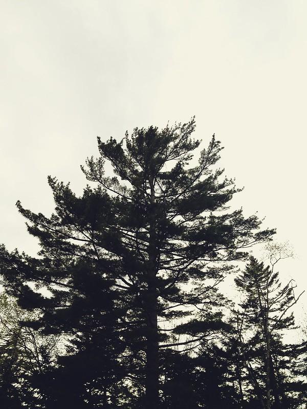 White Pines.