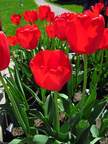 Red tulips along Sussex Drive, Ottawa, Canada