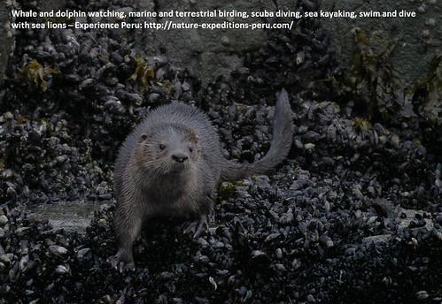 Marine otter Peru 3
