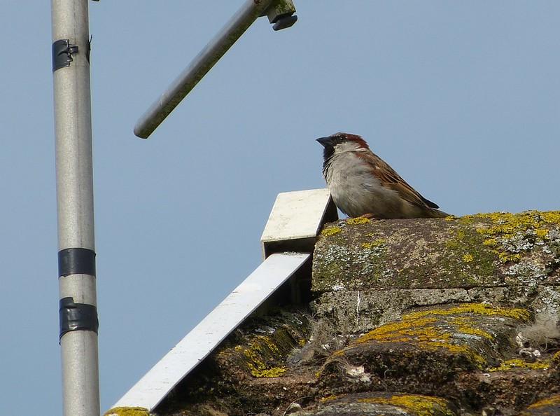 P1070660 - House Sparrow