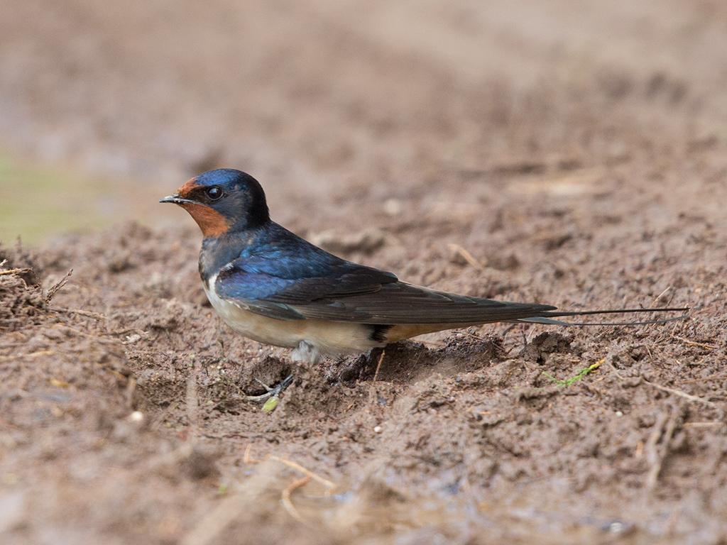 Barn Swallow 2014-05-03