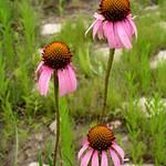 Echinacea-angustifolia-1