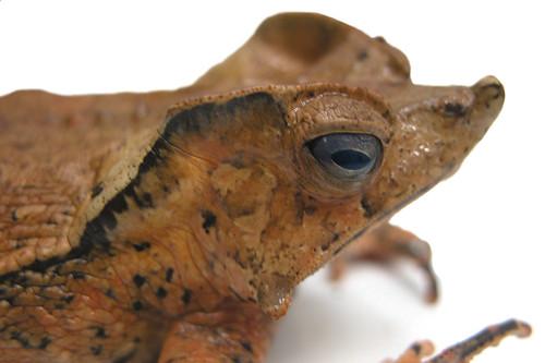 <i>Rhinella dapsilis</i> Sapo magnífico ♀